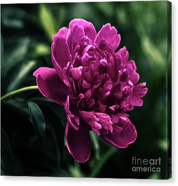 Canvas Print featuring the photograph Peony 2014 by Marjorie Imbeau
