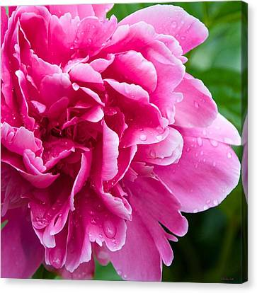 Peony After The Rain Canvas Print