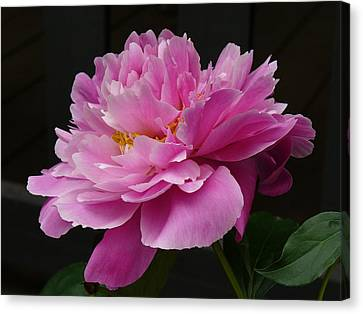 Peony Blossoms Canvas Print