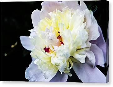 Peony Evening Canvas Print