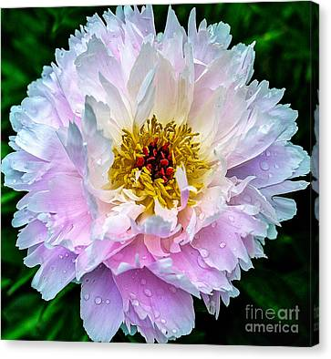 Peony Flower Canvas Print by Edward Fielding