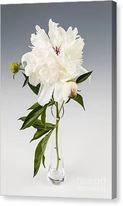 Peony Flower In Vase Canvas Print