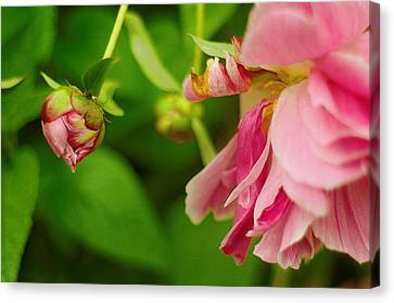 Canvas Print featuring the photograph Peony Flower With Bud by Suzanne Powers