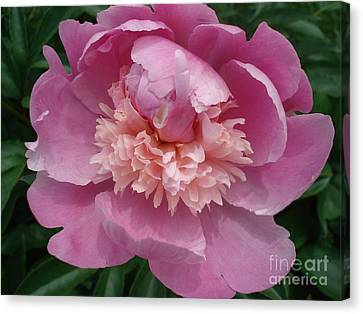 Peony Full Bloom Canvas Print