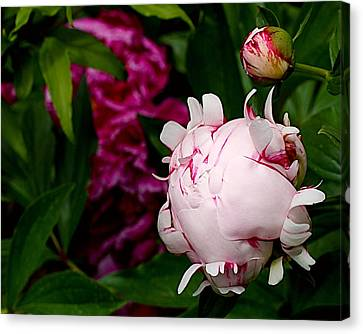 Peony Life Canvas Print by Rona Black