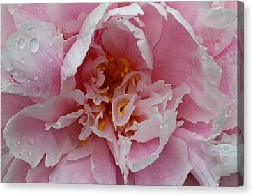 Peony Love Canvas Print by Julie Andel