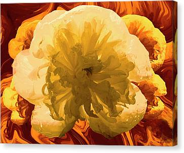 Peony (paeonia Sp.) Flower Canvas Print by Archie Young