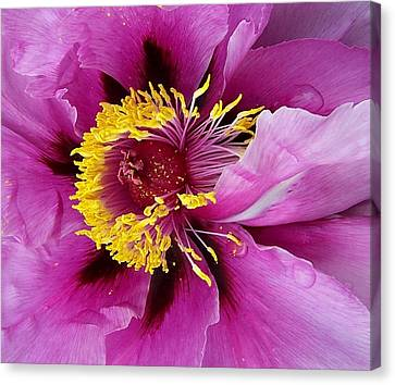 Peony Revealed Canvas Print by Peter Mooyman