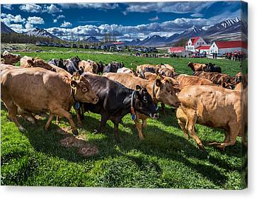 People Watch As A Dairy Cows Are Set Canvas Print