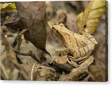 Pepper Treefrog, St Canvas Print by Rob Sheppard