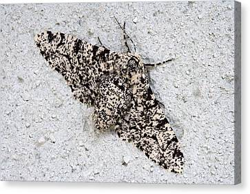 Peppered Moth Canvas Print by Power And Syred