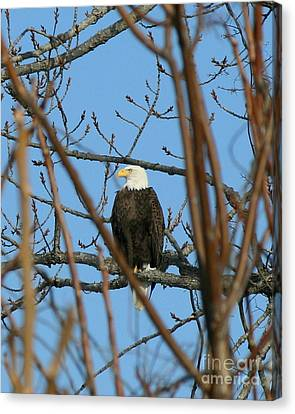 Perched American Bald Eagle  Canvas Print by Neal Eslinger
