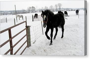 Percheron Horse Colt In Snow Canvas Print