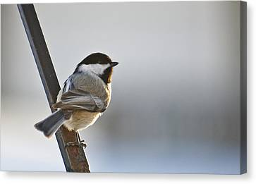 Perching Black Cap Canvas Print