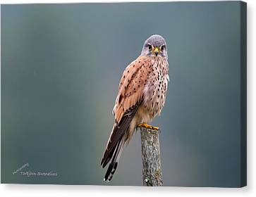 Perching Canvas Print by Torbjorn Swenelius