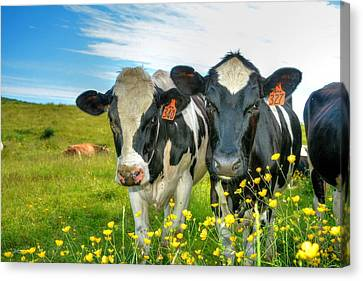 Percy's Holsteins Canvas Print