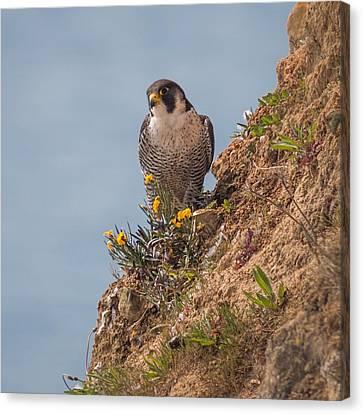 Perefrine Falcon Canvas Print by Ian Hufton