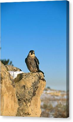 Peregrine Falcon Canvas Print