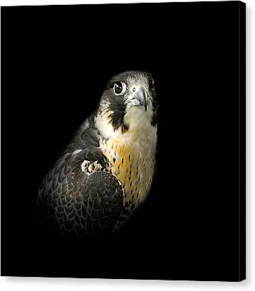 Peregrine Falcon Canvas Print by Bill Wakeley