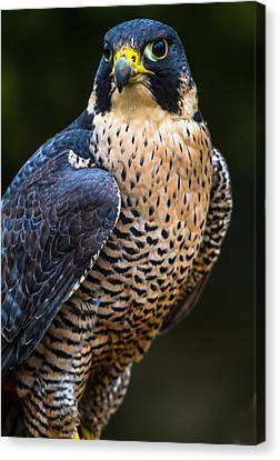 Peregrine Falcon Canvas Print by Craig Brown