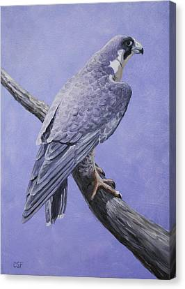 Peregrine Falcon Canvas Print by Crista Forest