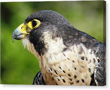 Canvas Print featuring the photograph Peregrine Falcon by Cynthia Guinn