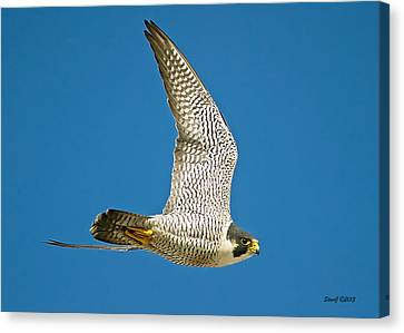 Peregrine Falcon Fly-by Canvas Print by Stephen  Johnson