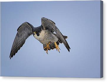 Peregrine Falcon Canvas Print by Gary Hall