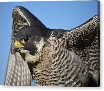 Peregrine Falcon Up Close Canvas Print by Paulette Thomas