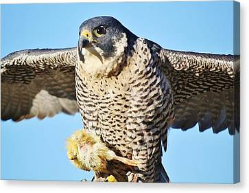 Peregrine Falcon With Chicken For Dinner Canvas Print by Paulette Thomas