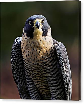 Peregrine Focus Canvas Print by Mary Jo Allen