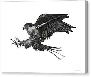 Peregrine Hawk Or Falcon Black And White With Pen And Ink Drawing Canvas Print by Mario Perez