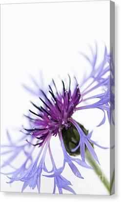 Perennial Cornflower Canvas Print by Anne Gilbert