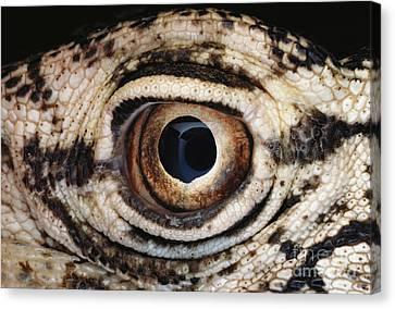 Perentie Lizard Eye Canvas Print