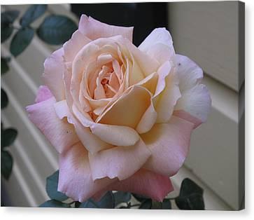 Perfect Blushing October Rose Canvas Print