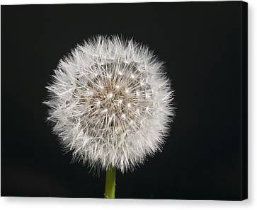 Perfect Puffball Canvas Print by Richard Thomas