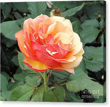 Canvas Print featuring the photograph Perfect Rose by Janette Boyd