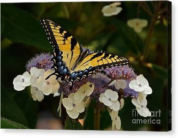 Perfect Tiger Swallowtail Butterfly Canvas Print by Byron Varvarigos