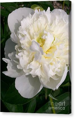 Perfect White Peony Canvas Print