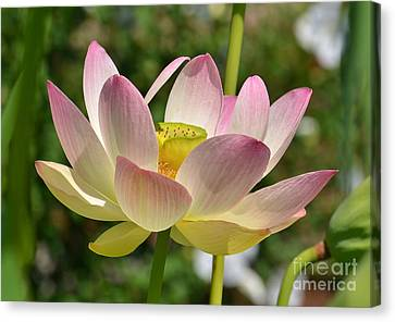 Perfection Canvas Print by Kathy Baccari