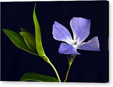 Periwinkle. Canvas Print by Terence Davis
