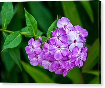 Phlox Canvas Print - Perky Purple Phlox by Steve Harrington