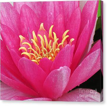 Perry's Fire Opal Water Lily Canvas Print by Darleen Stry