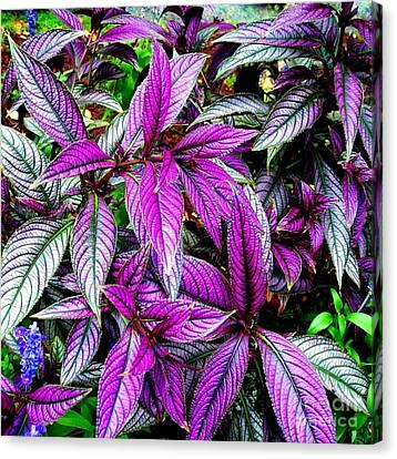 Fuschia Canvas Print - Persian Shield Plant by Janine Riley