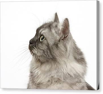 Persian X Birman Female Cat Canvas Print by Mark Taylor