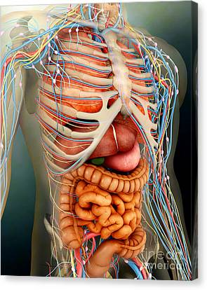 Perspective View Of Human Body, Whole Canvas Print by Stocktrek Images
