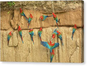 Peru, Amazon River Basin, Madre De Dios Canvas Print