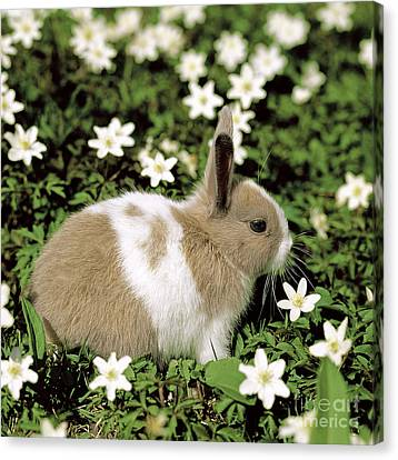 Pet Rabbit Canvas Print by Hans Reinhard/Okapia