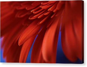 Flowers Gerbera Canvas Print - Petals by Connie Handscomb