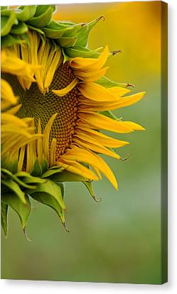 Canvas Print featuring the photograph Petals by Ronda Kimbrow
